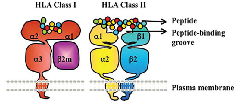 Figure 5: Human leukocyte antigen class I and II are heterodimeric transmembrane proteins.